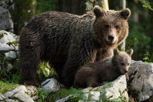 Management a ochrana populace medvědů hnědých v severních Dinárských horách a Alpách – Slovinsko